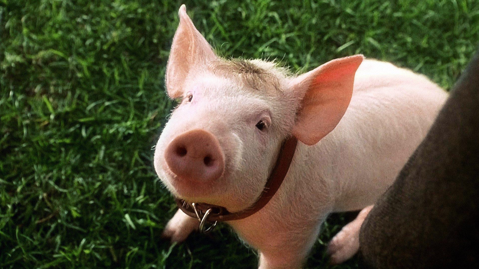 Regarder Babe, le cochon devenu berger en streaming gratuit