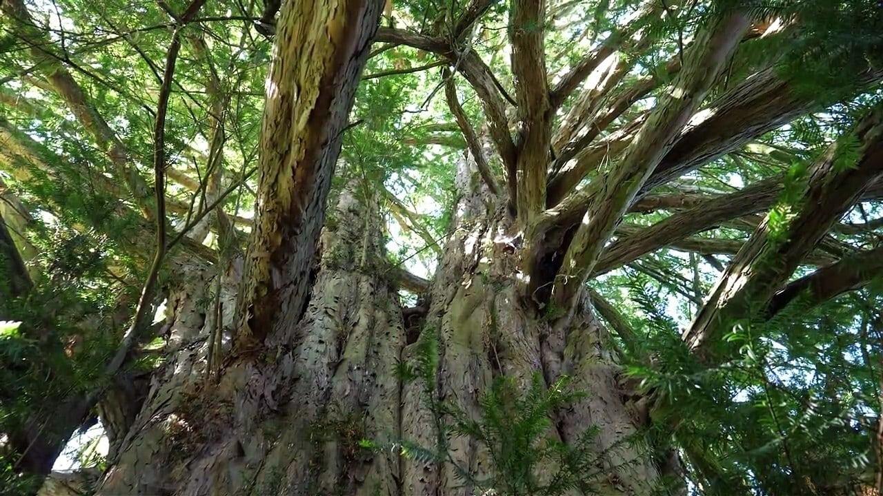 Regarder La Puissance de l'arbre avec Ernst Zürcher en streaming gratuit
